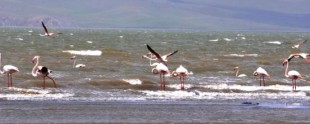 Flamingolar Van'a Geldi